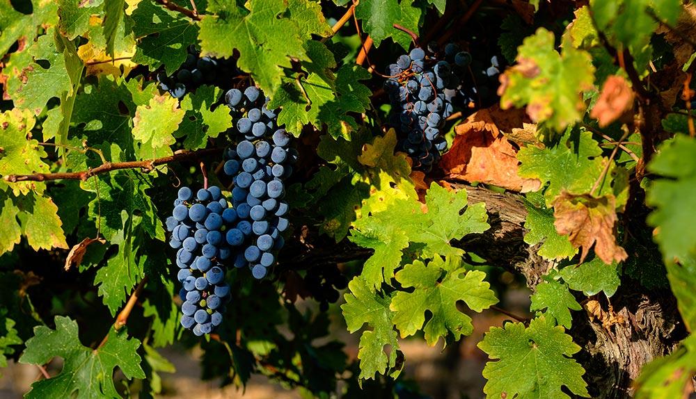 color del vino tinto
